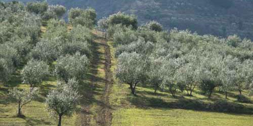 Olio Extravergine di Oliva Biologica